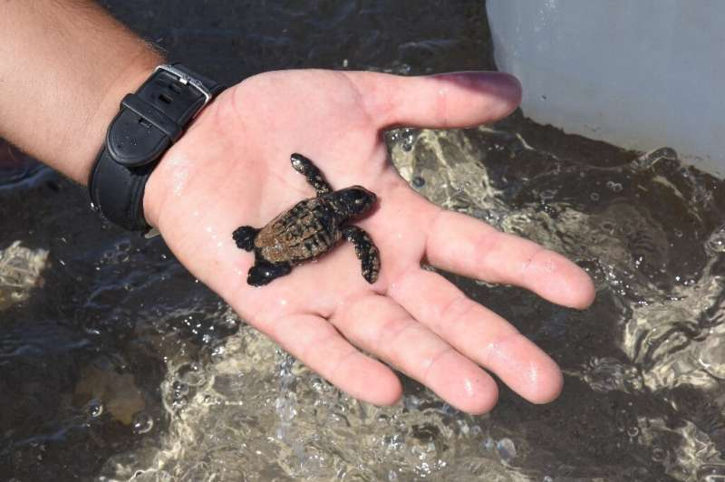 Only one in 1,000 of these tiny turtles survives to reproduce at the age of about 20