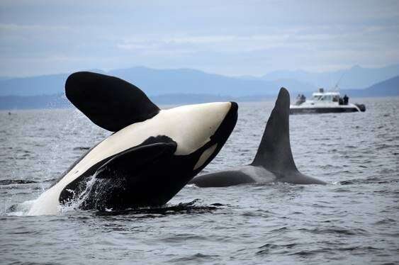 Resident orcas' appetite likely reason for decline of big Chinook salmon
