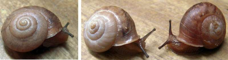 Right- or left-handed? Gene expression tells the story of snail evolution