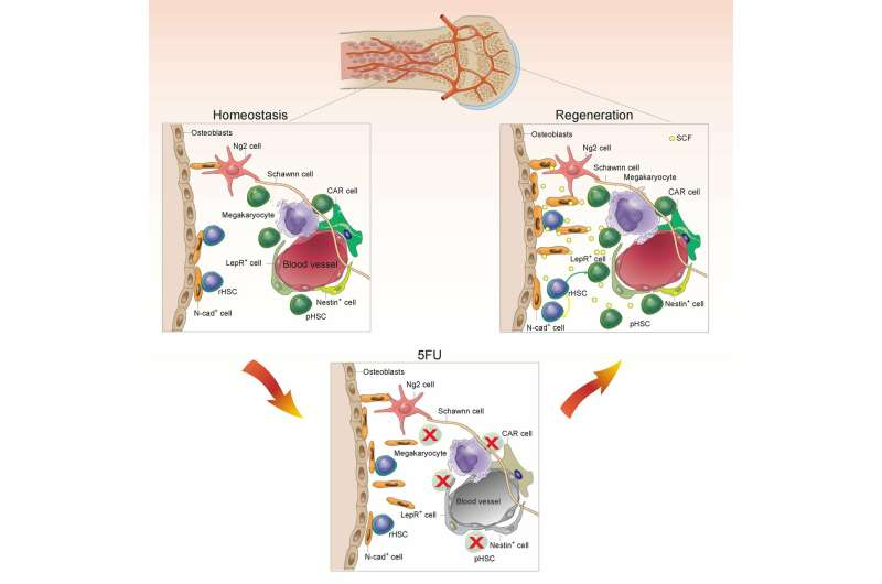 Scientists have identified a bone marrow backup system