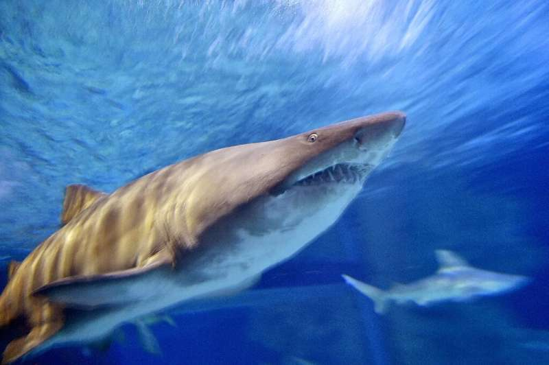 Sharks have been around for more than 400 million years and the fish are particularly vulnerable to population decline due to th