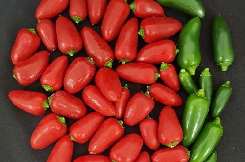 Should researchers engineer a spicy tomato?