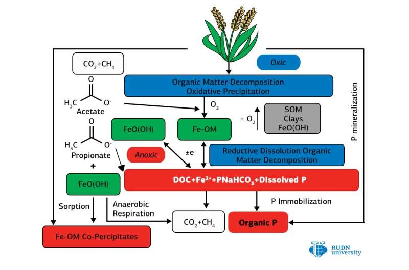 Soil scientists from RUDN manage to increase phosphorus content in paddy soils