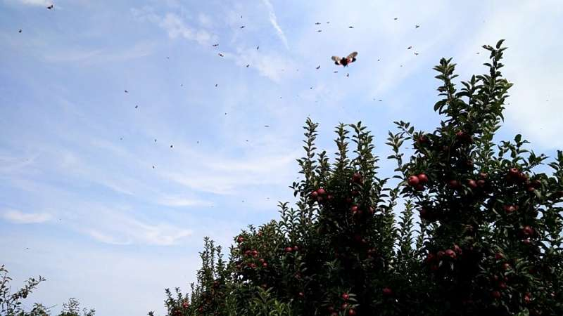 Spotted lanternflies found to be flyers, not gliders
