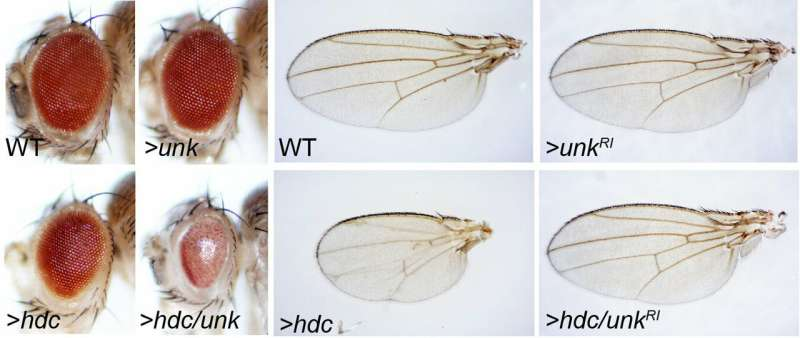 Study identifies two proteins that suppress tumor growth in fruit flies, suggests similar effect on human cancers