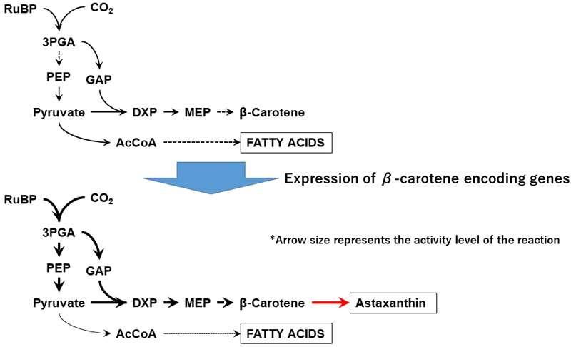 Success in metabolically engineering marine algae to synthesize valuable antioxidant astaxanthin