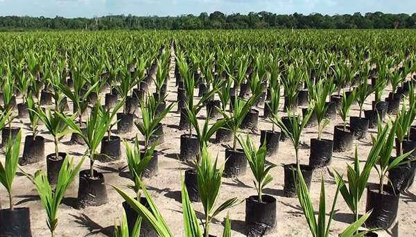 Super clones to conquer coconut crisis