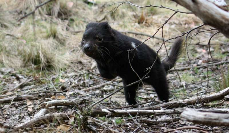 Tasmanian devil cancer unlikely to cause extinction, say experts