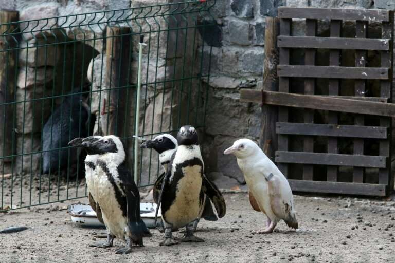 The albino penguin is believed to be the only one of its kind in captivity
