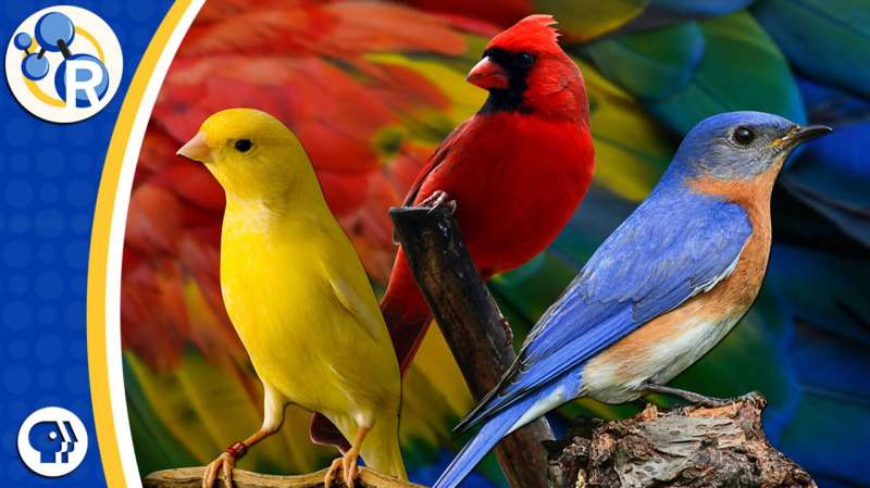 The chemistry behind color-changing birds (video)