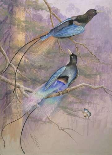 The evolution of bird-of-paradise sex chromosomes revealed