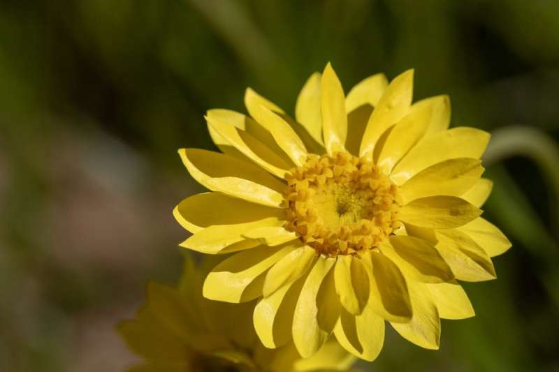 The showy everlasting daisy is endangered, but a primary school is helping out