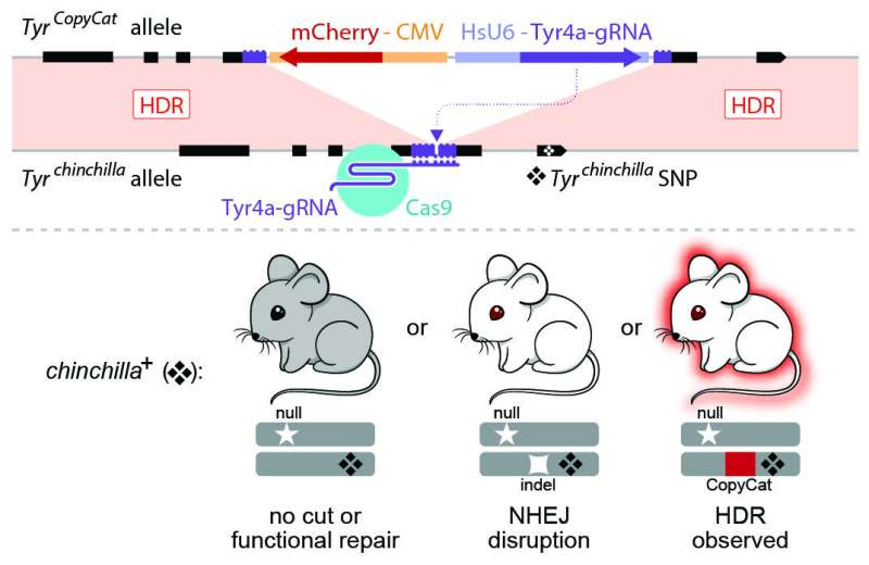 UC San Diego researchers first to use CRISPR/Cas9 to control genetic inheritance in mice