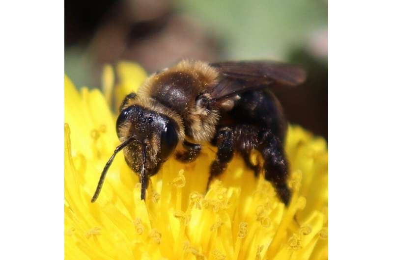 UNH researchers reveal more than dozen wild bee species declining in Northeast