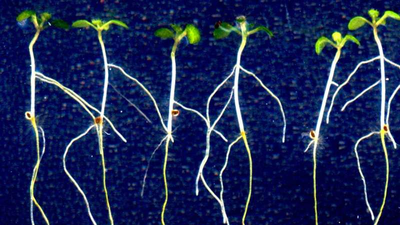 New insights into regulation of root initiation