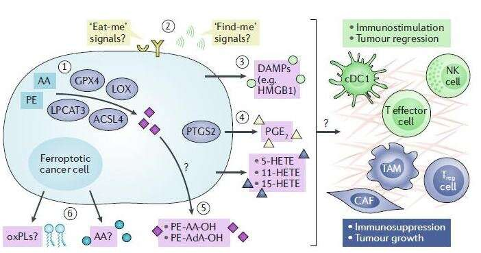 Scientists propose a fresh look at the role of ferroptosis in the development of cancer