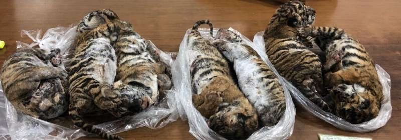 Conservation group Traffic called for action to prevent further tiger losses with fewer than 3,900 of the big cats etimated to b