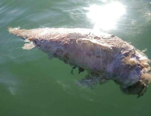 Activists report probable dead vaquita porpoise in Mexico