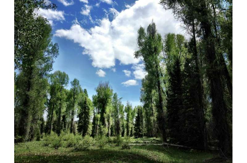 Climate-driven evolution in trees alters their ecosystems