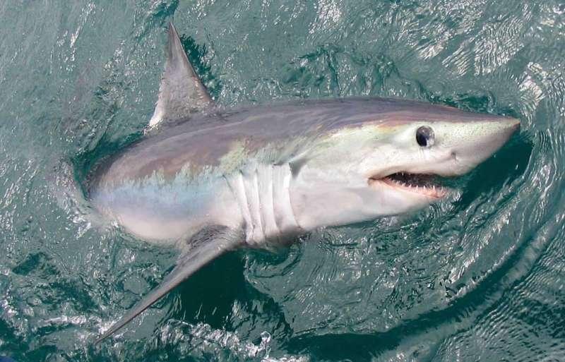 Commercial fishing threatens sharks worldwide