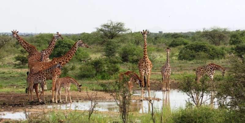 Crouching lion, hidden giraffe
