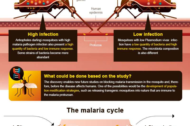 Discovery paves the way for blocking malaria transmission in Brazil