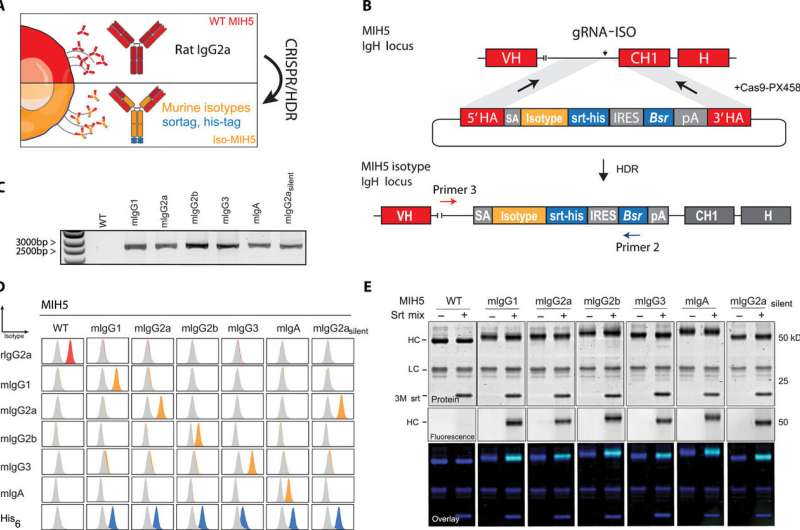 Genome engineering with CRISPR/HDR to diversify the functions of hybridoma-produced antibodies