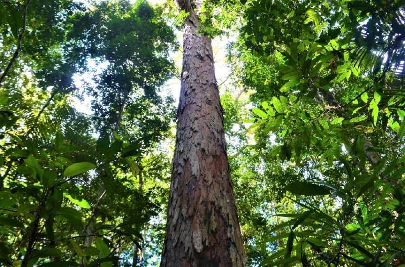 Handout picture released by SETEC (Science and Technology Secretary of Amapa State) showing the giant Dinizia Excelsa tree, foun
