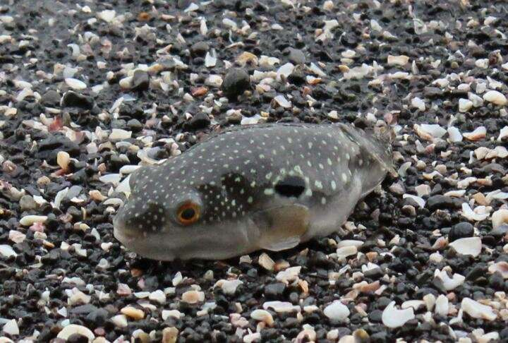 How the pufferfish got its wacky spines