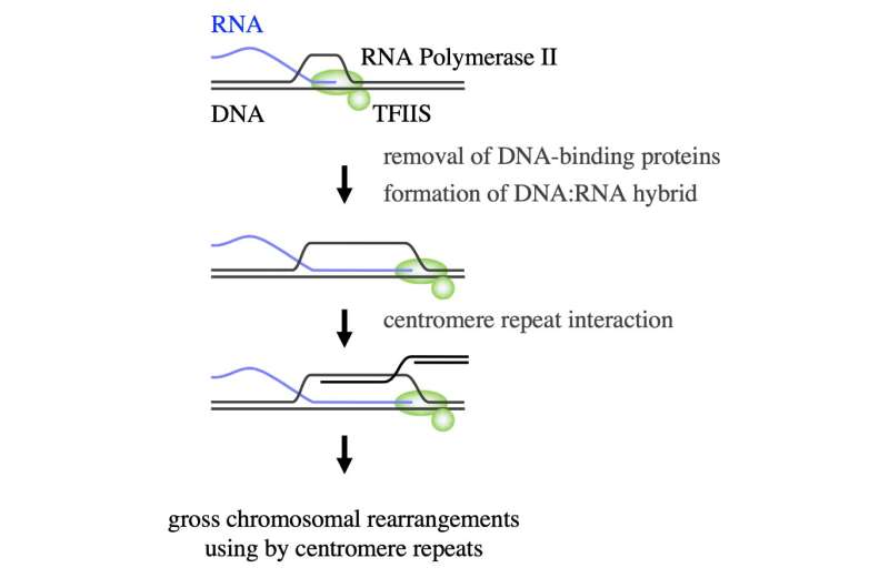 Keeping chromosomes in check: a new role for heterochromatin