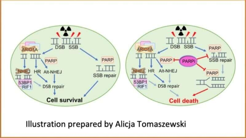 Laboratory studies identify a potential way to treat human cancers with ARID1A mutations