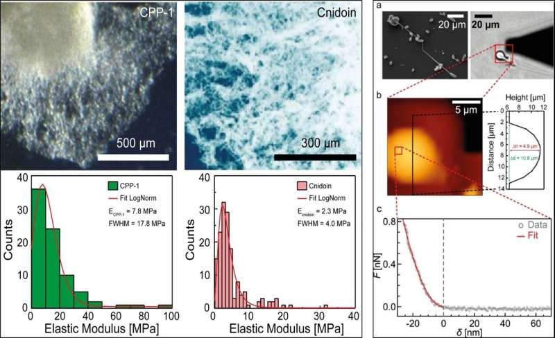 New class of crosslinker-free nanofiber biomaterials from Hydra nematocyst proteins