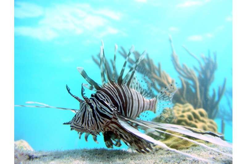 New model predicts impact of invasive lionfish predators on coral reefs