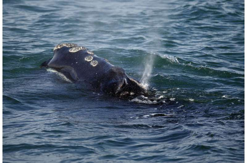 New restrictions to protect rare whale expected from group