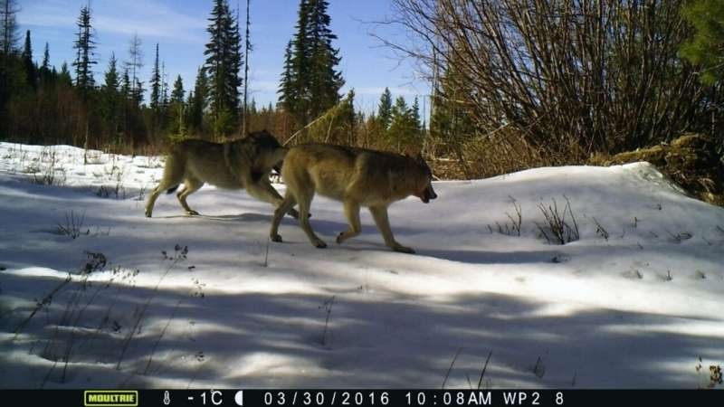 Return of the wolves: How deer escape tactics help save their lives