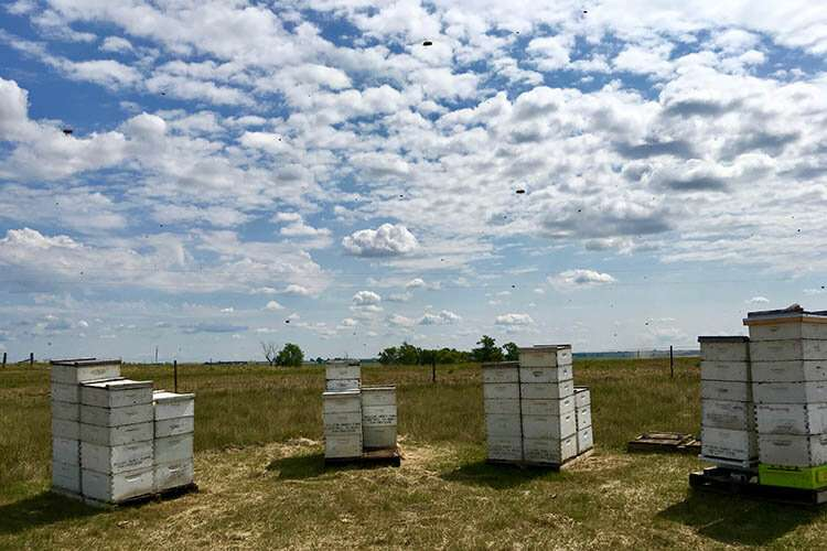To help the bees, protect the prairie