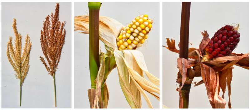 Unraveling of 58-year-old corn gene mystery may have plant-breeding implications
