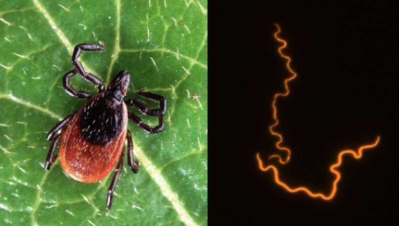 Breakthrough paves way for new Lyme disease treatment