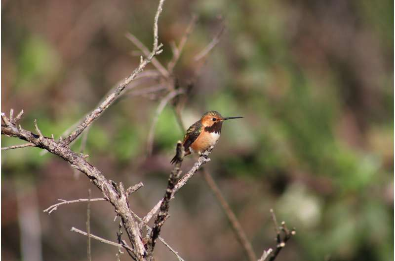 Scientists identify previously unknown 'hybrid zone' between hummingbird species