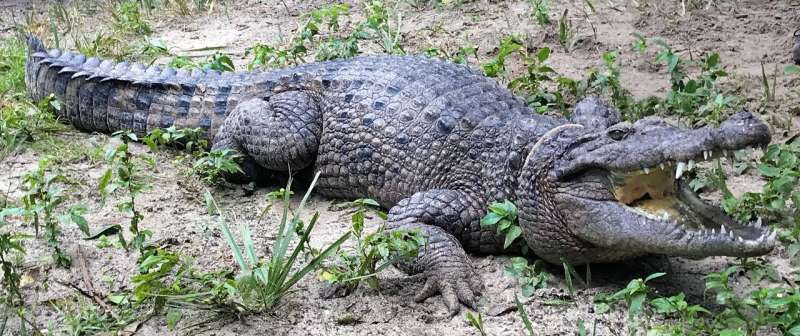 New species of crocodile discovered in museum collections