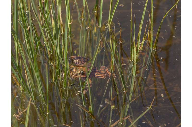 San Francisco Zoo brings red-legged frogs back to Yosemite