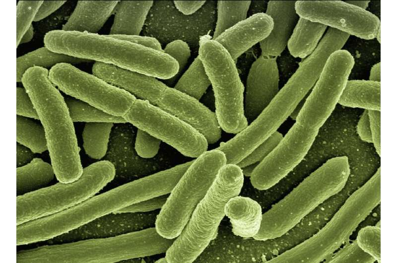 Scientists discover how 'superbug' E. coli clones take over human gut