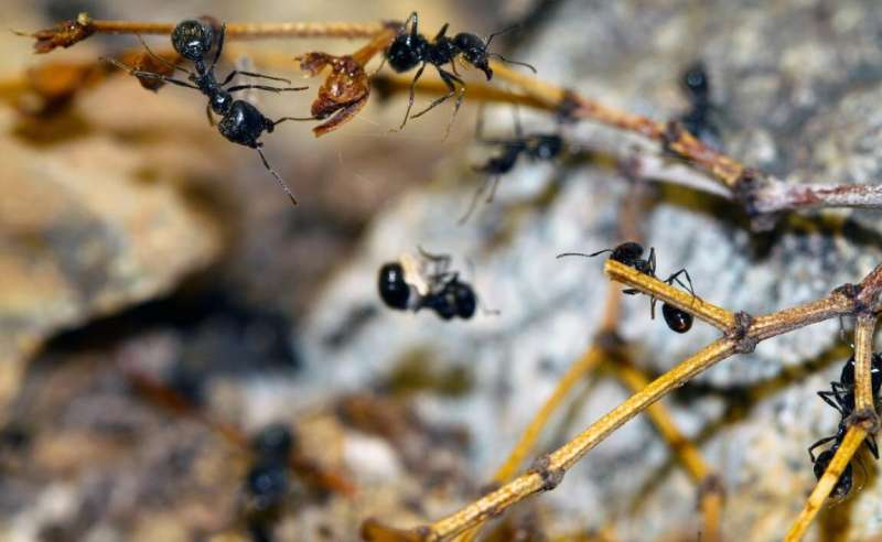 Desert seed-harvesting ants will save nestmates from spiderwebs