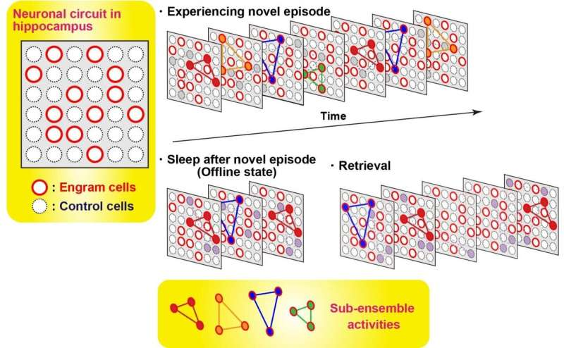 Discovery of neuronal ensemble activities that is orchestrated to represent one memory