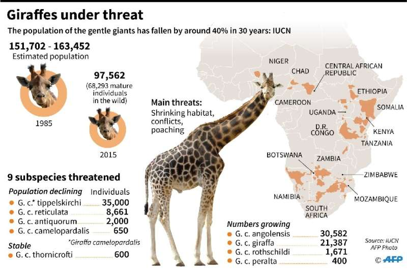 Giraffes under threat
