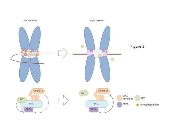 How newly found tension sensor plays integral role in aligned chromosome partitioning