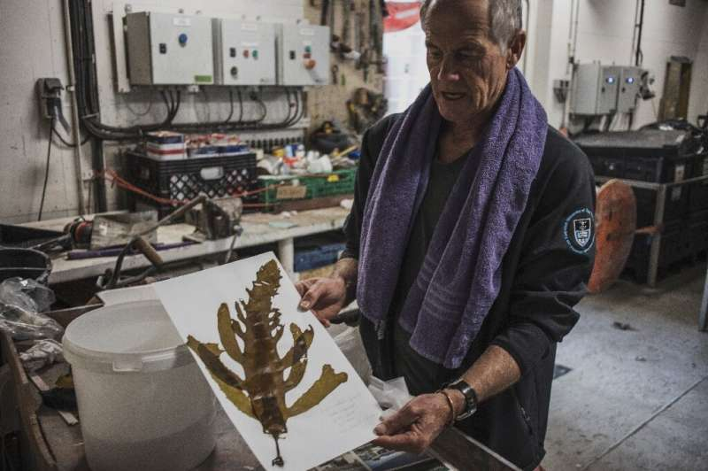 Marine biologist Robert Anderson prepares kelp samples for drying and analysis