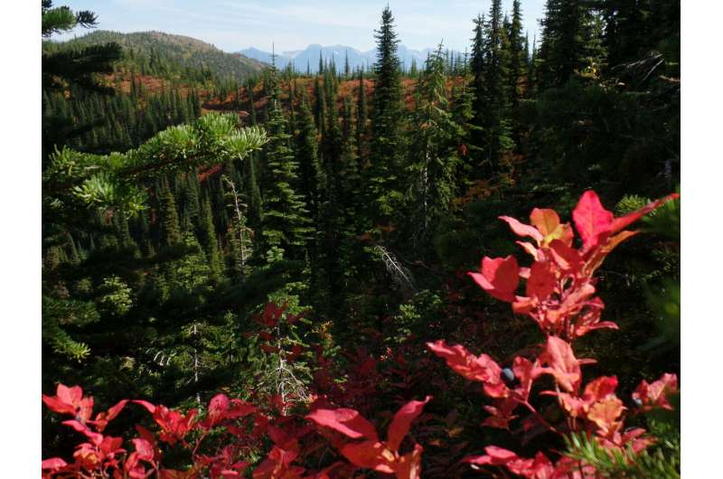 New tool maps a key food source for grizzly bears: huckleberries
