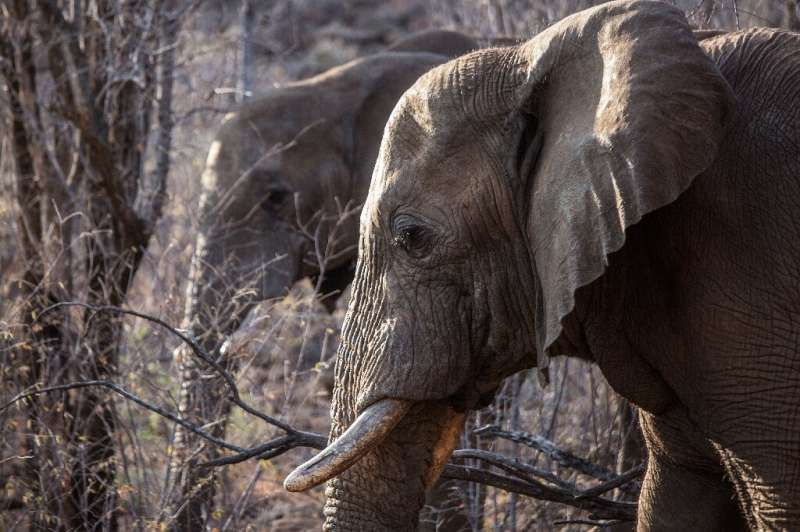 Some countries in southern Africa are pushing for a global ivory ban to be relaxed as their elephant numbers grow