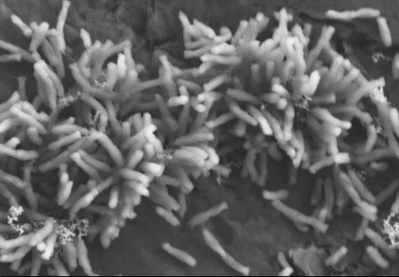 Study shows how electricity-eating microbes use electrons to fix carbon dioxide